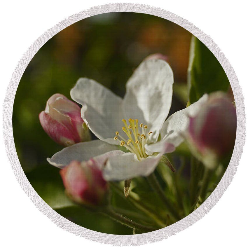 Apple Round Beach Towel featuring the photograph Apple Blossom by Mick Anderson