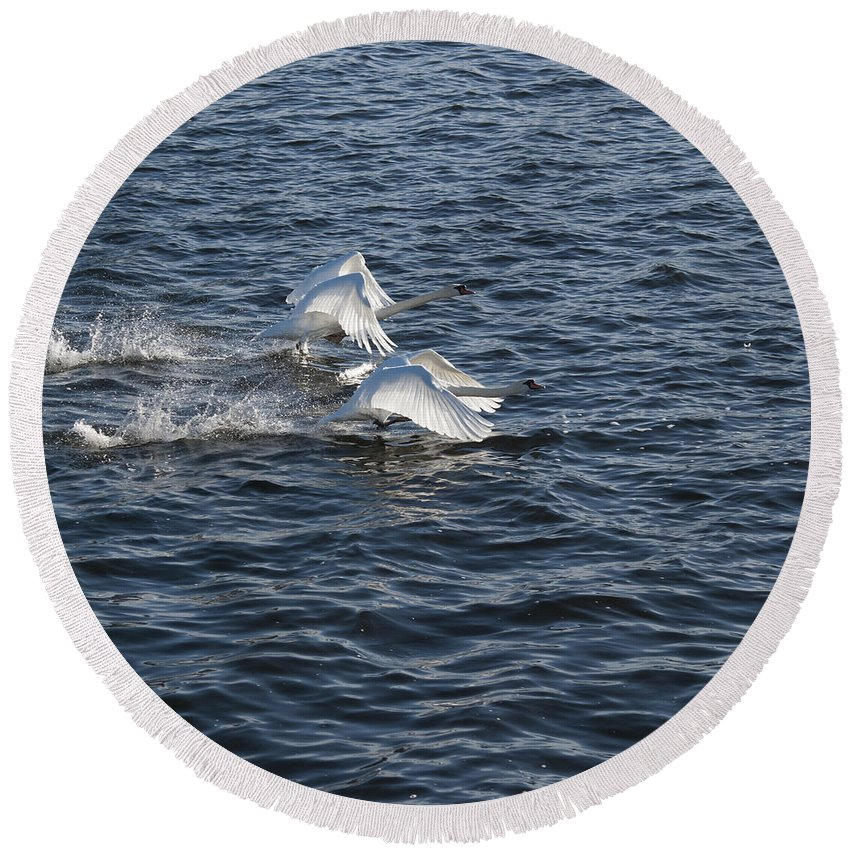 White Swans Round Beach Towel featuring the photograph Backlit Swans by Steve Purnell