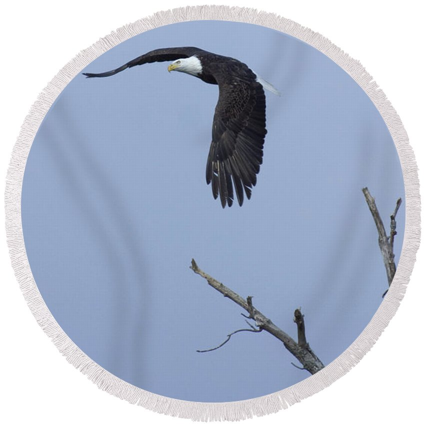 Animals Round Beach Towel featuring the photograph Bald Eagle In Flight by Alan Look