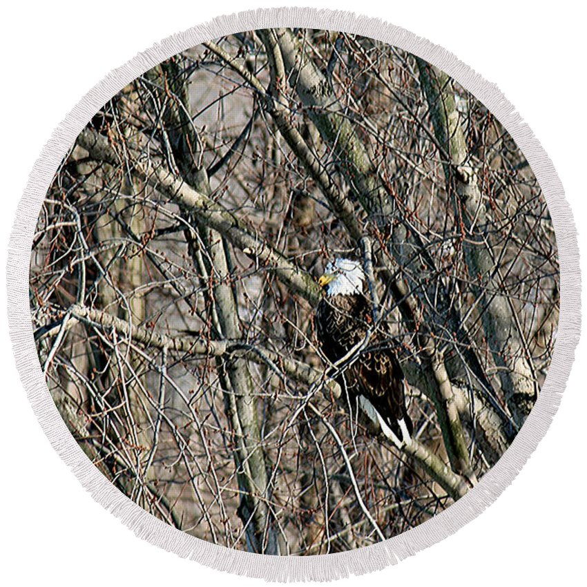 Bald Eagle Round Beach Towel featuring the photograph Bald Eagle Perched Among Branches by Crystal Heitzman Renskers