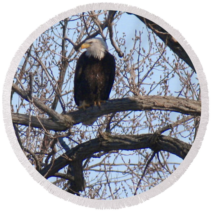 Bald Eagle Round Beach Towel featuring the photograph Bald Eagle Perched In Cottonwood by Crystal Heitzman Renskers