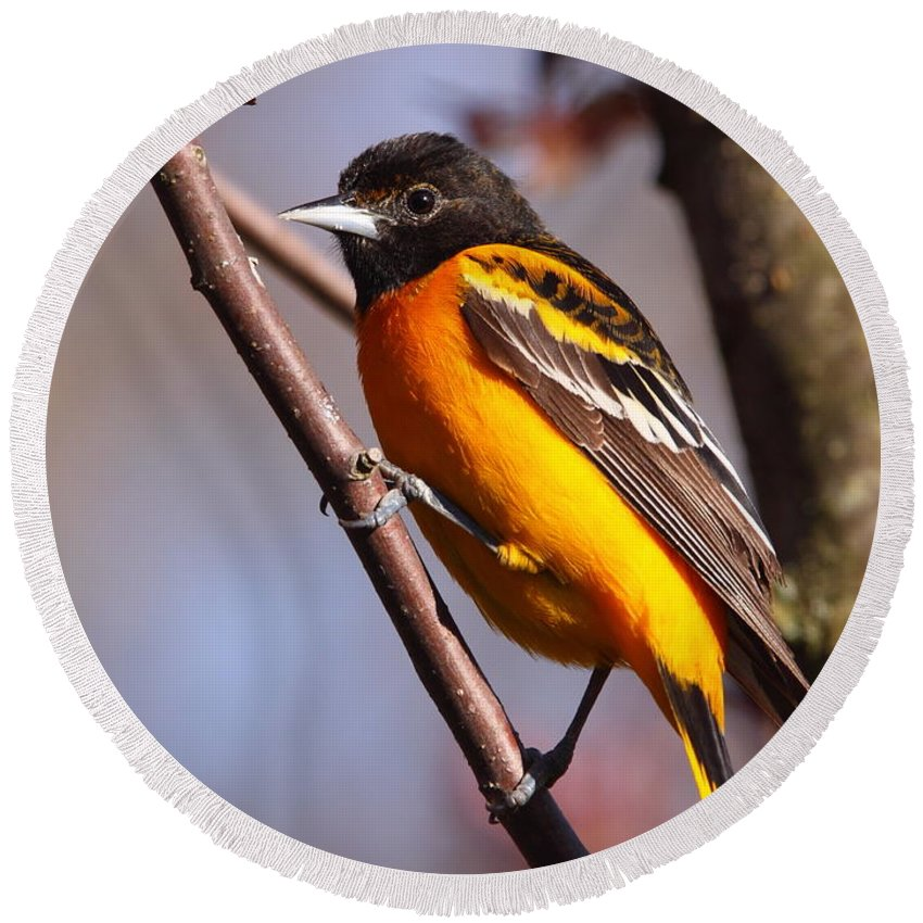 Oriole Round Beach Towel featuring the photograph Baltimore Oriole Iv by Bruce J Robinson
