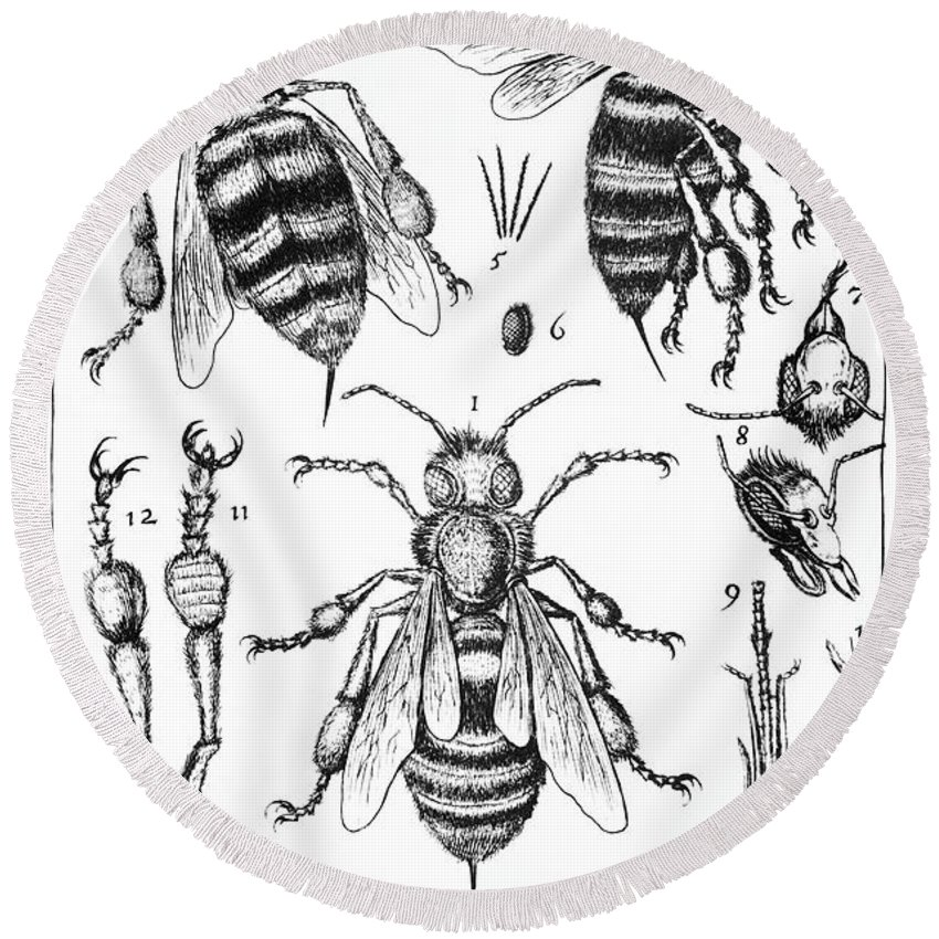 Bee Anatomy Historical Illustration Round Beach Towel for Sale by ...