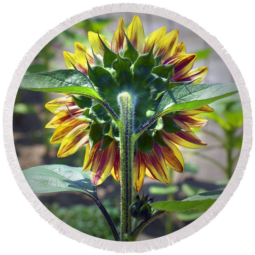 Sunflower Round Beach Towel featuring the photograph Behind You by Gwyn Newcombe