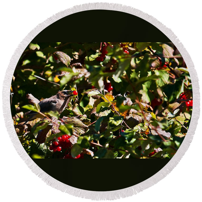 Cedar Waxwing Round Beach Towel featuring the photograph Berry Picking by Edward Peterson