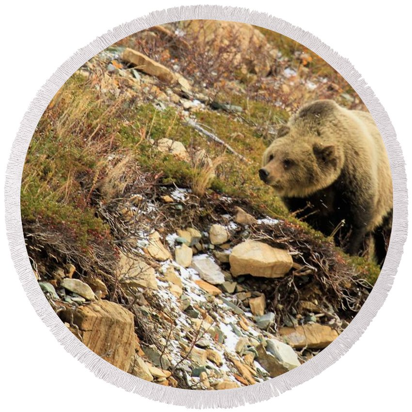 Grizzly Bear Round Beach Towel featuring the photograph Berry Sniffer by Adam Jewell