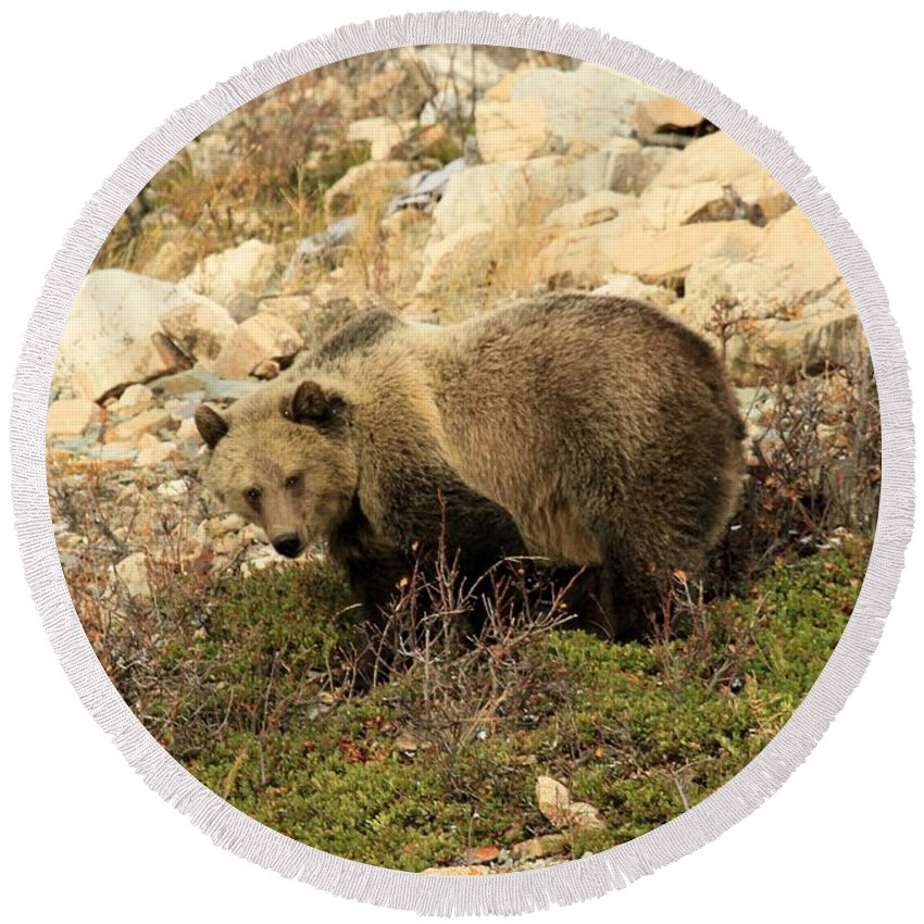 Grizzly Bear Round Beach Towel featuring the photograph Between A Rock And A Hard Place by Adam Jewell