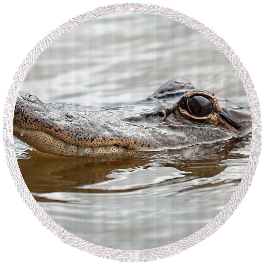 Gator Round Beach Towel featuring the photograph Big Eyes Baby Gator by Carol Groenen