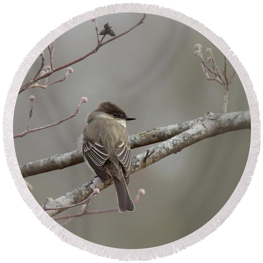 Eastern Phoebe Round Beach Towel featuring the photograph Bird - Eastern Phoebe - Very Contented by Travis Truelove