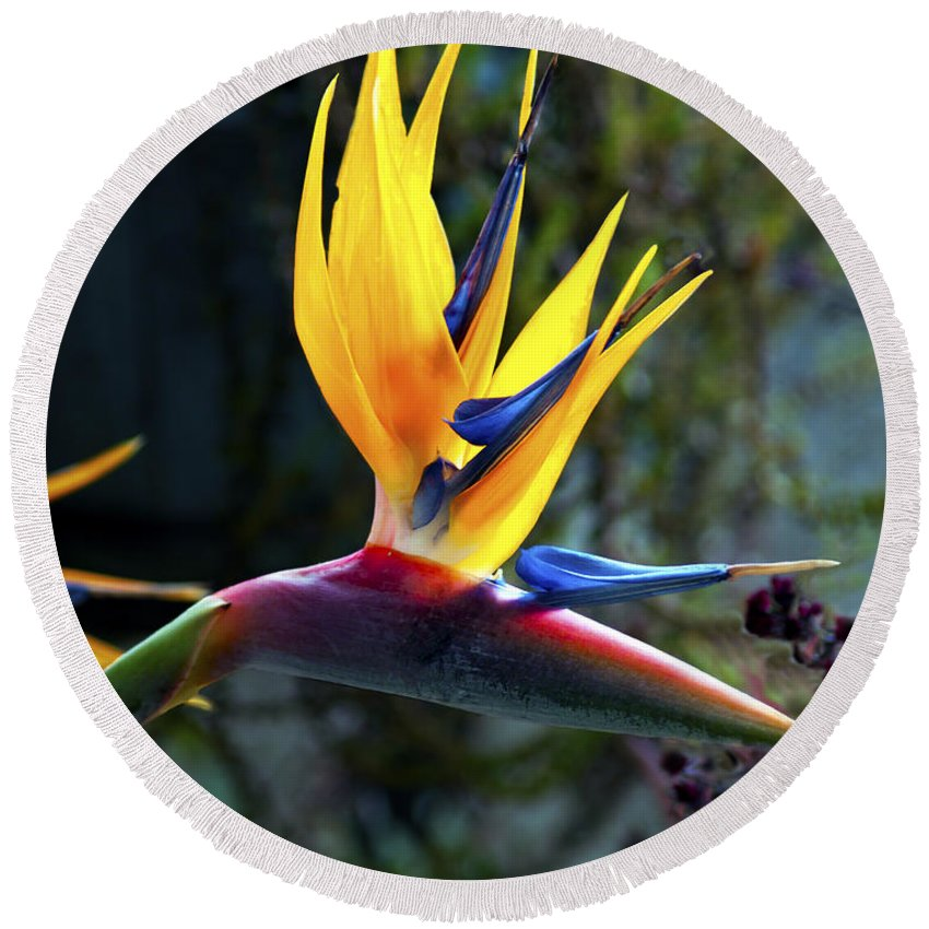 Fine Art Photography Round Beach Towel featuring the photograph Bird Of Paradise by Patricia Griffin Brett