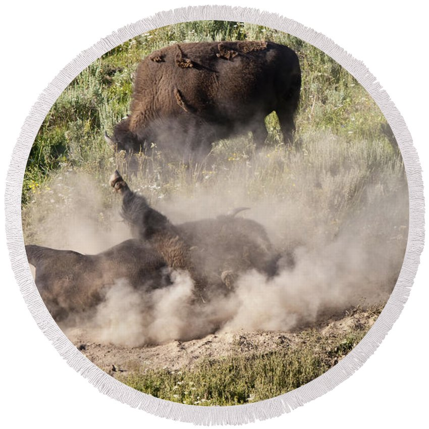American Bison Buffalo Dust Bath Hayden Valley Yellowstone National Park Wyoming Usa Round Beach Towel featuring the photograph Bison Dust Bath by Paul Cannon
