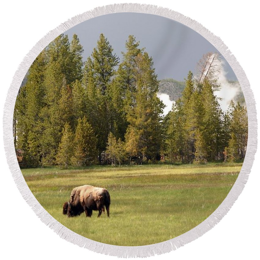 Bison Round Beach Towel featuring the photograph Bison In Yellowstone by Living Color Photography Lorraine Lynch