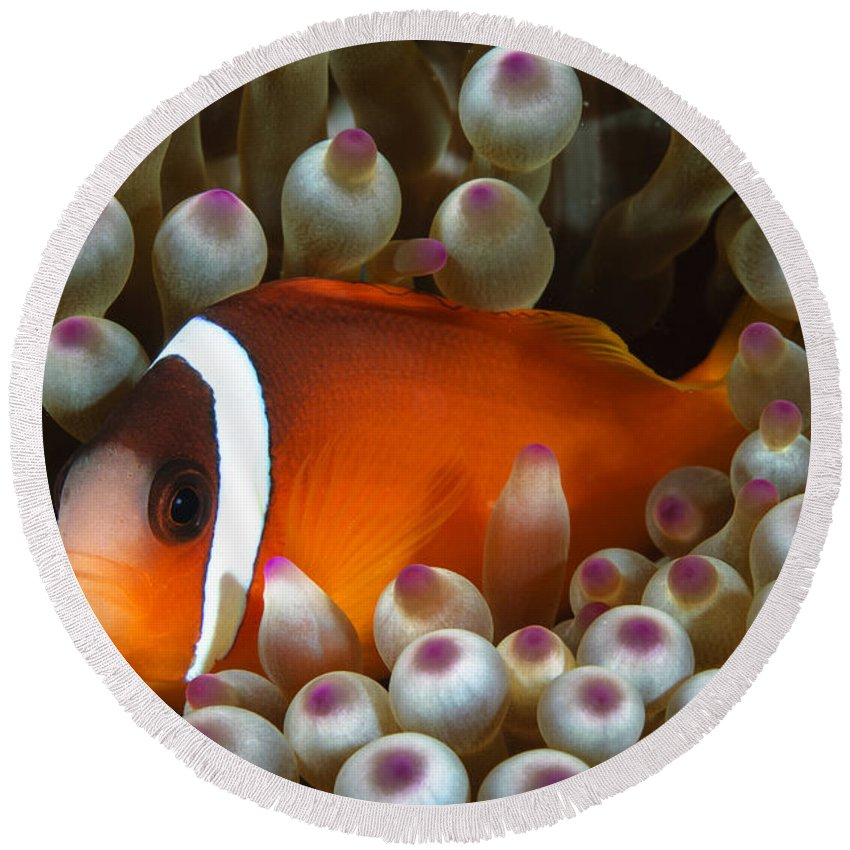 Anemone Round Beach Towel featuring the photograph Black Anemonefish, Fiji by Todd Winner