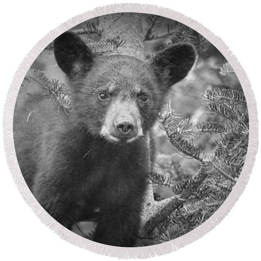 Art Round Beach Towel featuring the photograph Black Bear Cub In A Pine Tree by Randall Nyhof