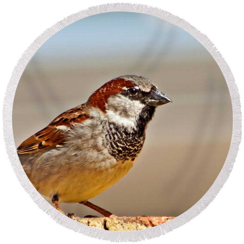 Bird Round Beach Towel featuring the photograph Black-chinned Sparrow by Robert Bales