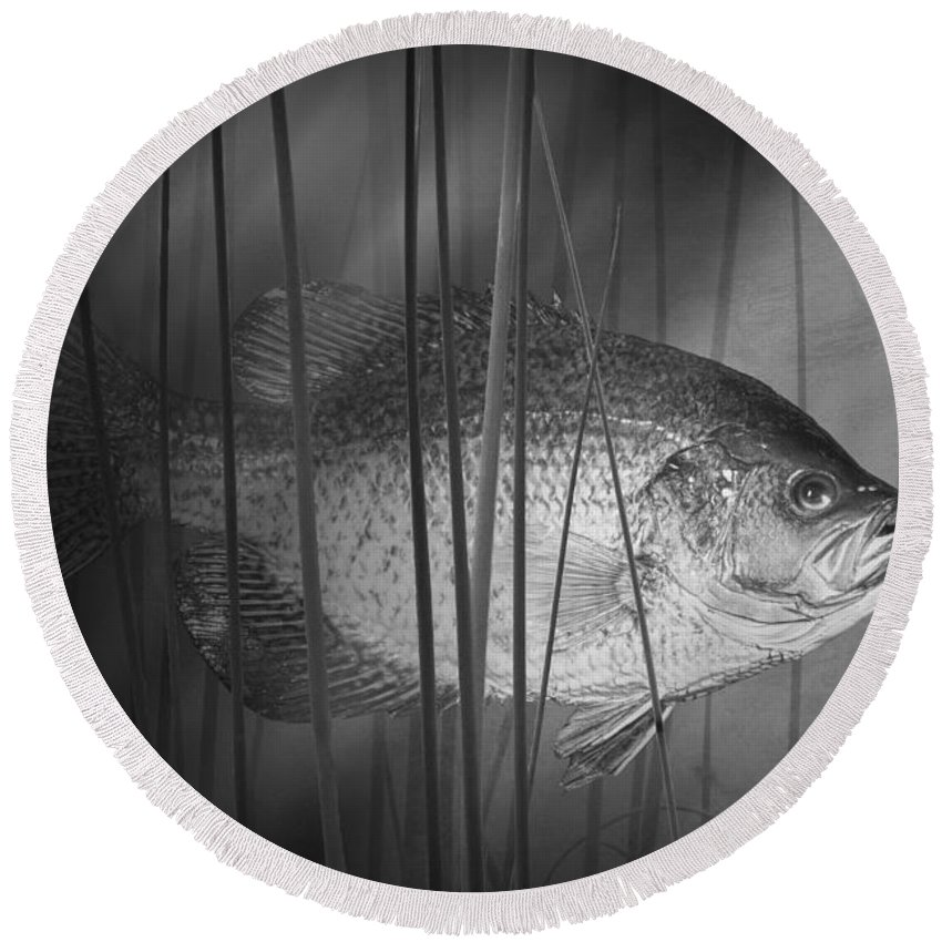 Art Round Beach Towel featuring the photograph Black Crappie Or Speckled Bass Among The Reeds by Randall Nyhof