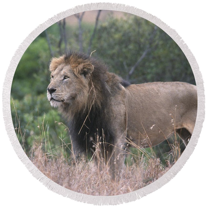 Lion Round Beach Towel featuring the photograph Black Maned Lion by Sandra Bronstein