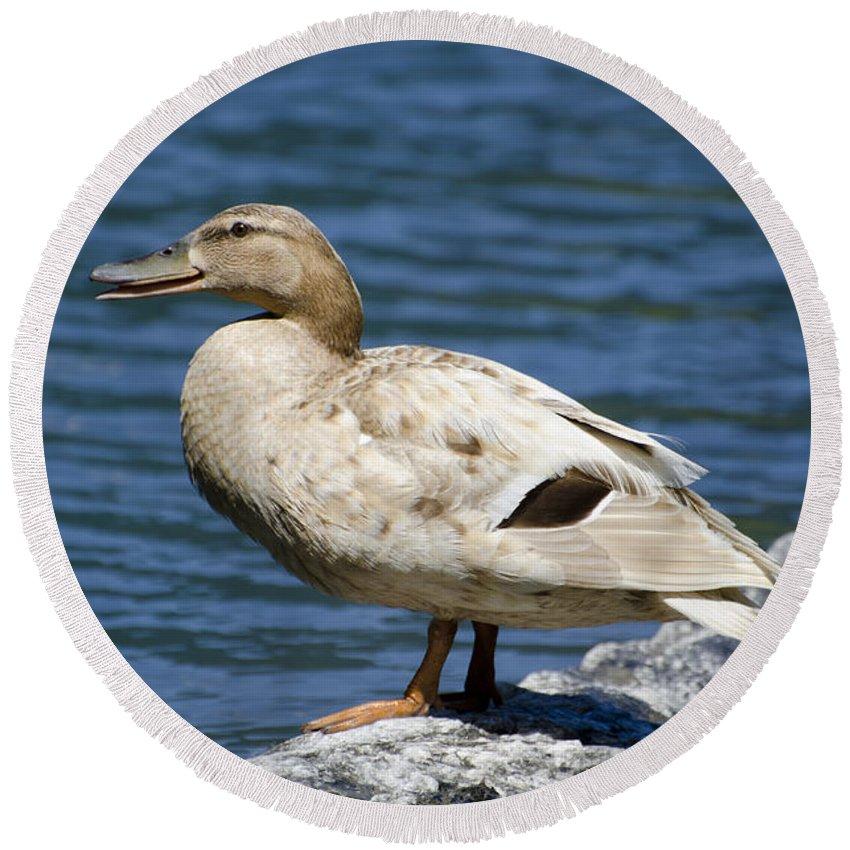 Duck Round Beach Towel featuring the photograph Blond Duck by Mats Silvan