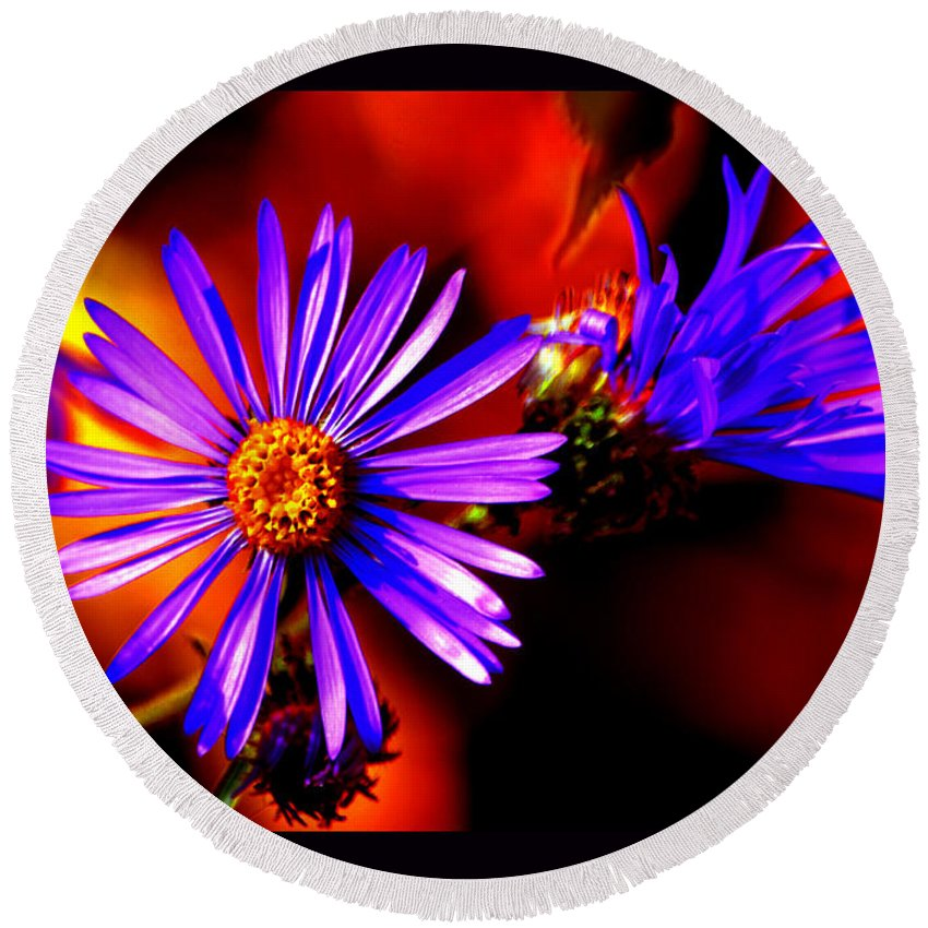 Asters Round Beach Towel featuring the photograph Blooming Asters by Susanne Still