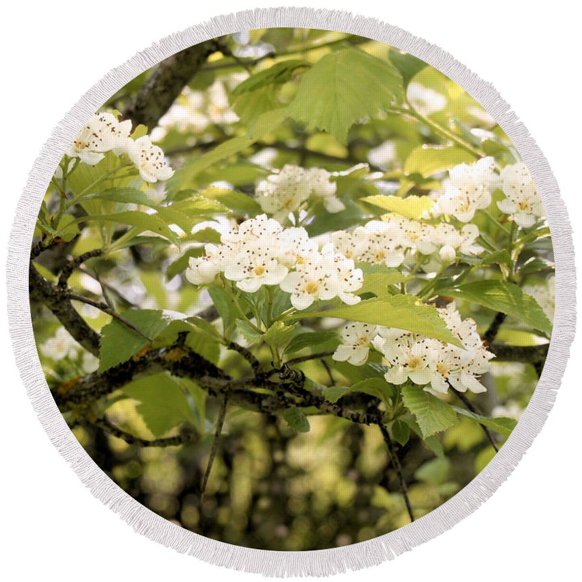 Hawthorn Round Beach Towel featuring the photograph Blossoming Hawthorn Tree by Angie Rea