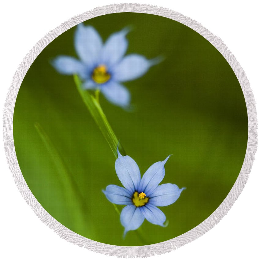 Blue-eyed Grass Round Beach Towel featuring the photograph Blue-eyed Grass Wildflower - Sisyrinchium Angustifolium by Kathy Clark
