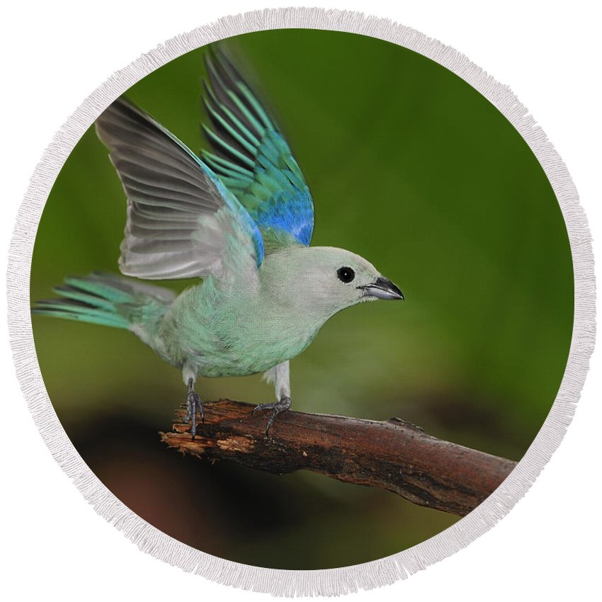 Blue-gray Tanager Round Beach Towel featuring the photograph Blue-gray Tanager by Tony Beck