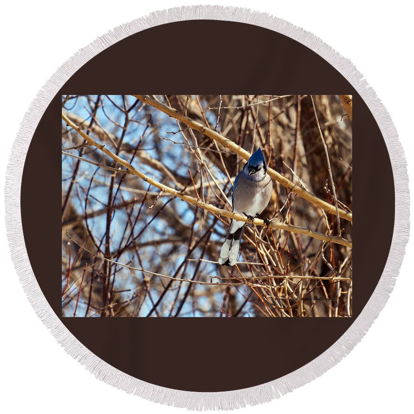 Blue Jay Round Beach Towel featuring the photograph Blue Jay Thinking by Edward Peterson