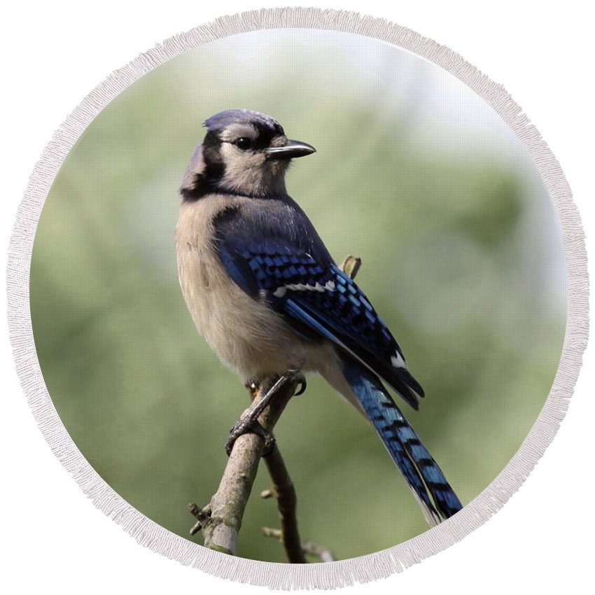 Bluejay Round Beach Towel featuring the photograph Bluejay - Bird by Travis Truelove