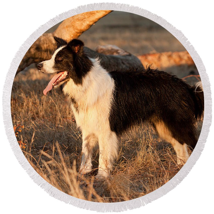 Border Collie Round Beach Towel featuring the photograph Border Collie At Sunset by Michelle Wrighton