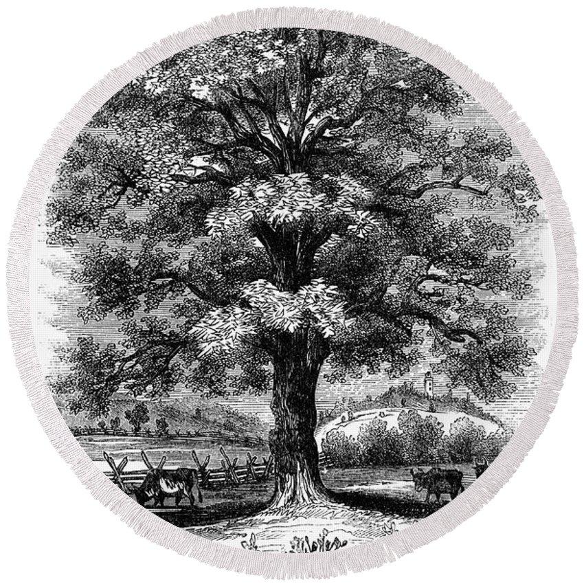 Botany: Black Walnut Tree Round Beach Towel