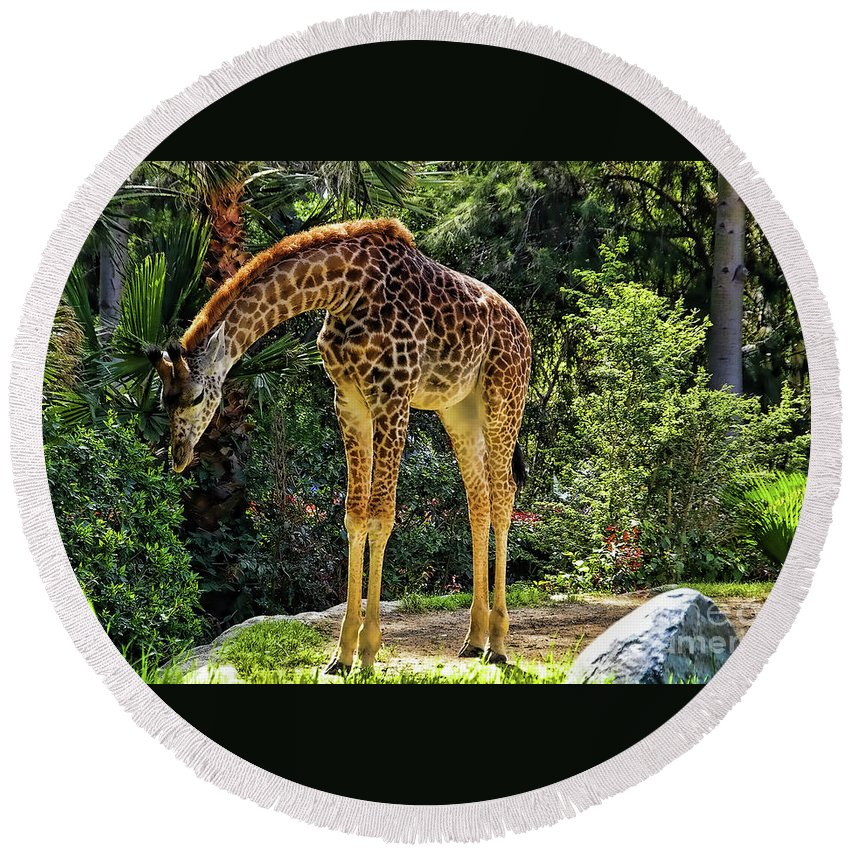 Bowing Giraffe Round Beach Towel featuring the photograph Bowing Giraffe by Mariola Bitner
