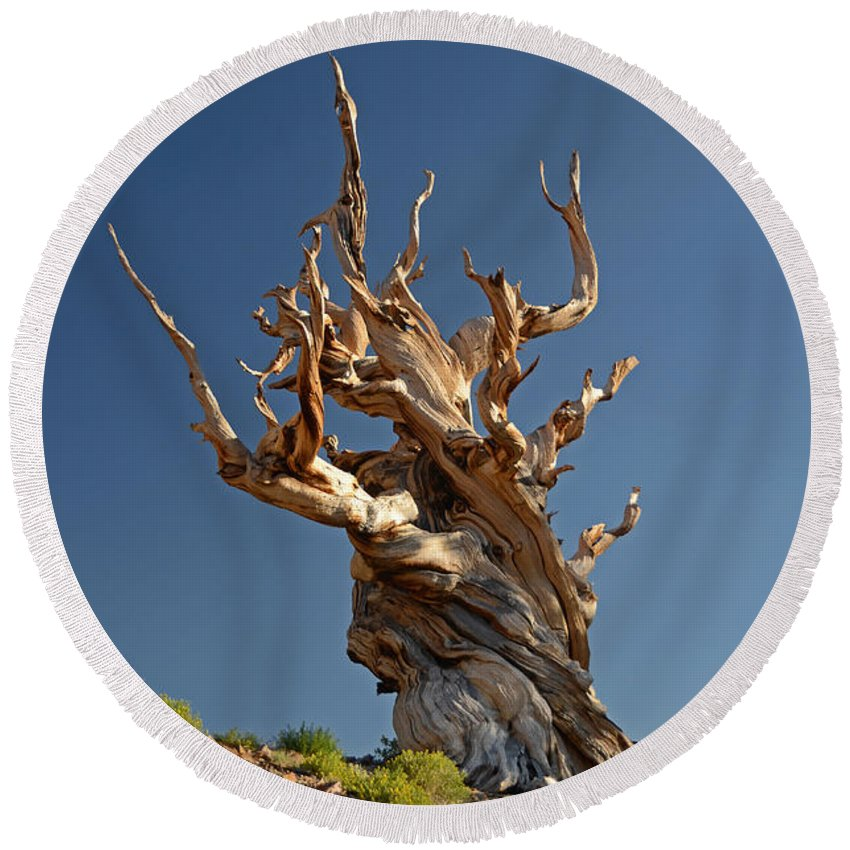 Bristlecone Pine Round Beach Towel featuring the photograph Bristlecone Pine by Cassie Marie Photography