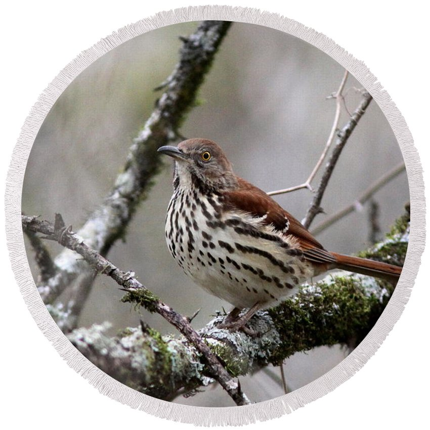 Spotted Bird Round Beach Towel featuring the photograph Brown Thrasher - Spot by Travis Truelove