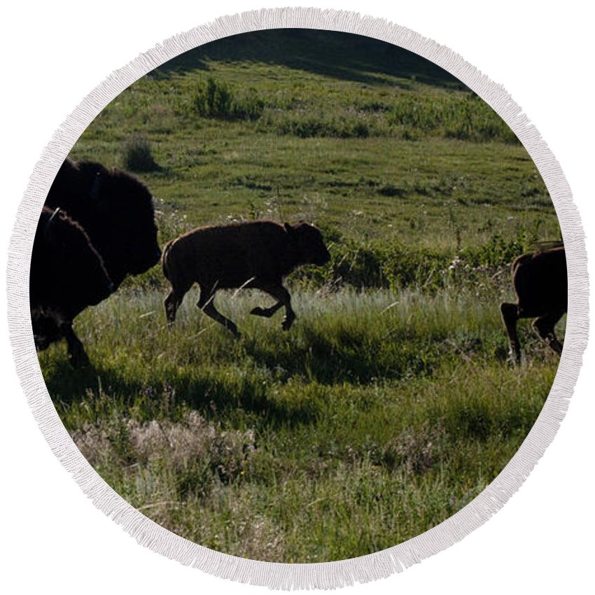 Custer State Park Round Beach Towel featuring the photograph Buffalo Bison Roaming In Custer State Park Sd.-1 by Paul Cannon