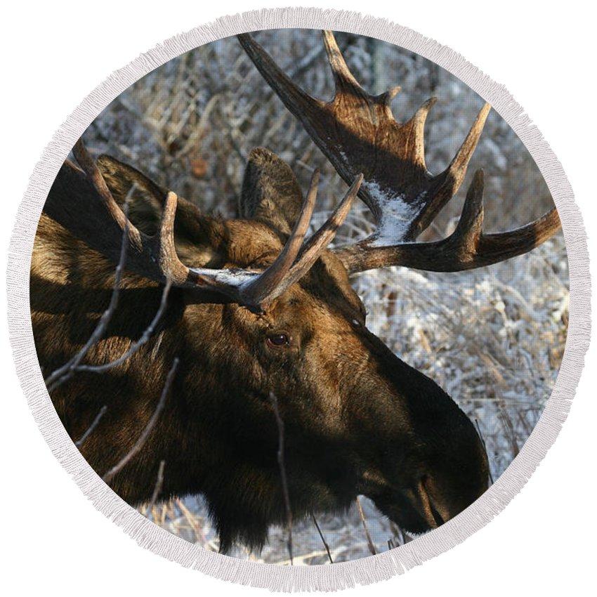 Alaska Round Beach Towel featuring the photograph Bull In The Brush by Doug Lloyd