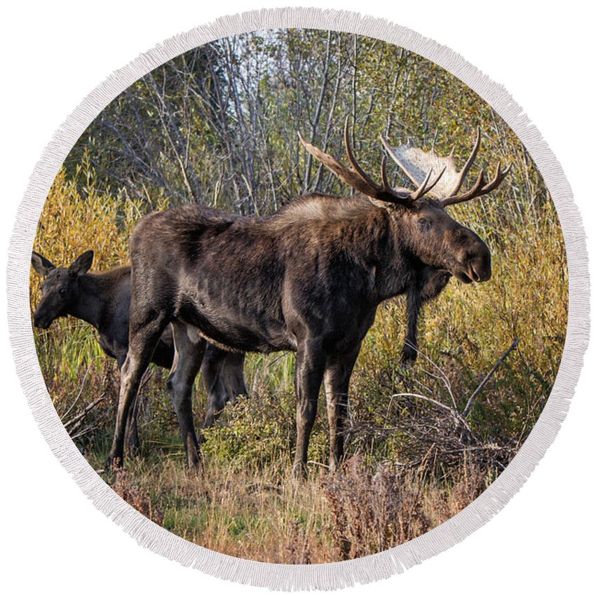 2012 Round Beach Towel featuring the photograph Bull Tolerates Calf by Ronald Lutz