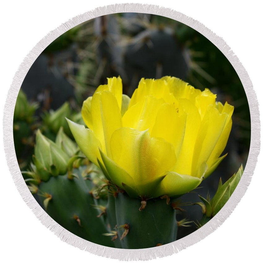 Cactus flower yellow rose of texas prickly pear round beach towel cactus round beach towel featuring the photograph cactus flower yellow rose of texas prickly pear by mightylinksfo