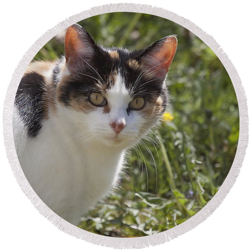 Cat Calico calico Cat Feline Eyes Pet Animal Stare Round Beach Towel featuring the photograph Calico by Eunice Gibb