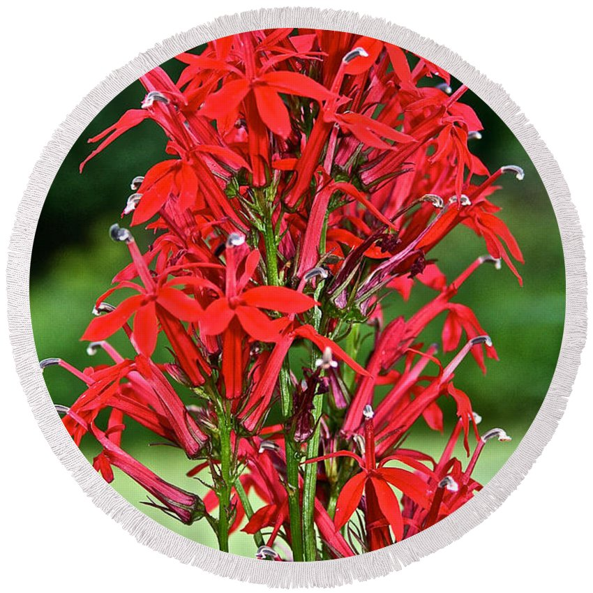 Outdoors Round Beach Towel featuring the photograph Cardinal Flower Full Bloom by Susan Herber