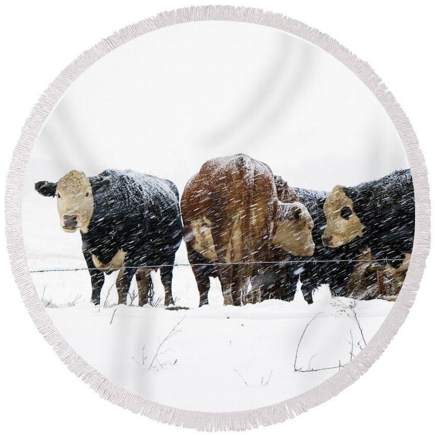 Cattle Round Beach Towel featuring the photograph Cattle In A Snowstorm In Southwest Michigan by Randall Nyhof