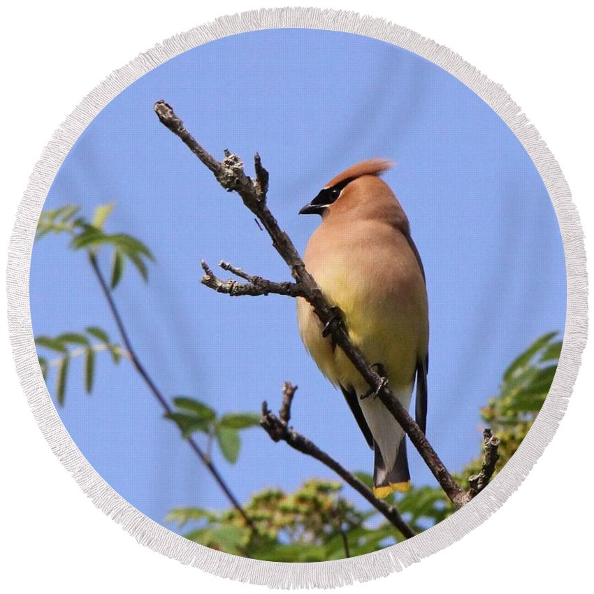 Bird Round Beach Towel featuring the photograph Cedar Waxwing by Davandra Cribbie