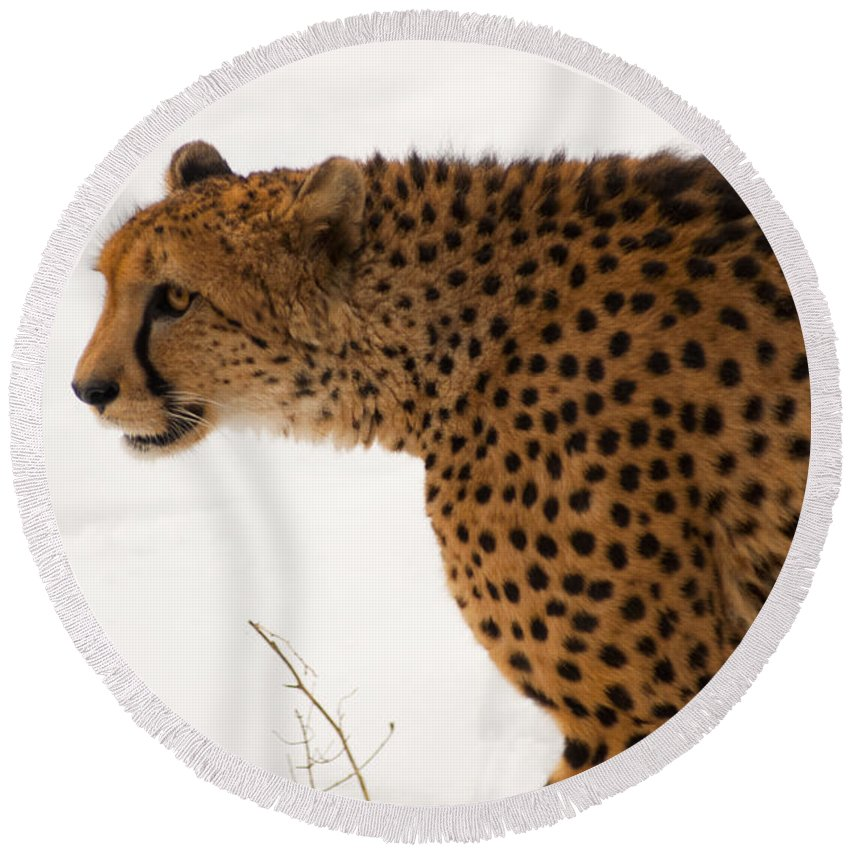 Acinonyx Round Beach Towel featuring the photograph Cheetah by Andrew Michael