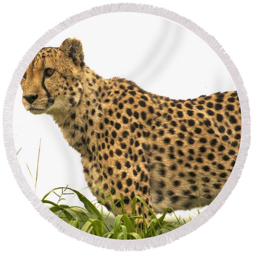 Okonjima Round Beach Towel featuring the photograph Cheetah Hunting by Fran Gallogly