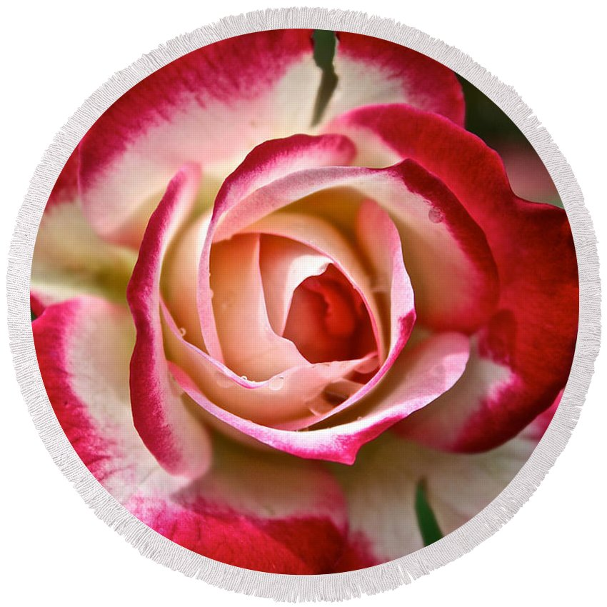 Garden Round Beach Towel featuring the photograph Cherry Vanilla Rose by Susan Herber
