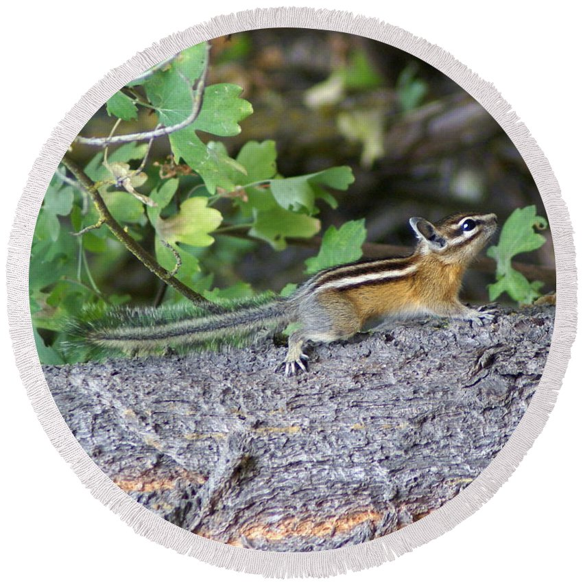 Chipmunks Round Beach Towel featuring the photograph Chipmunk On A Log by Ben Upham III