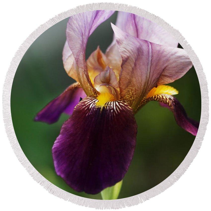 Iris Round Beach Towel featuring the photograph Classic Purple Two-tone Dutch Iris by Kathy Clark