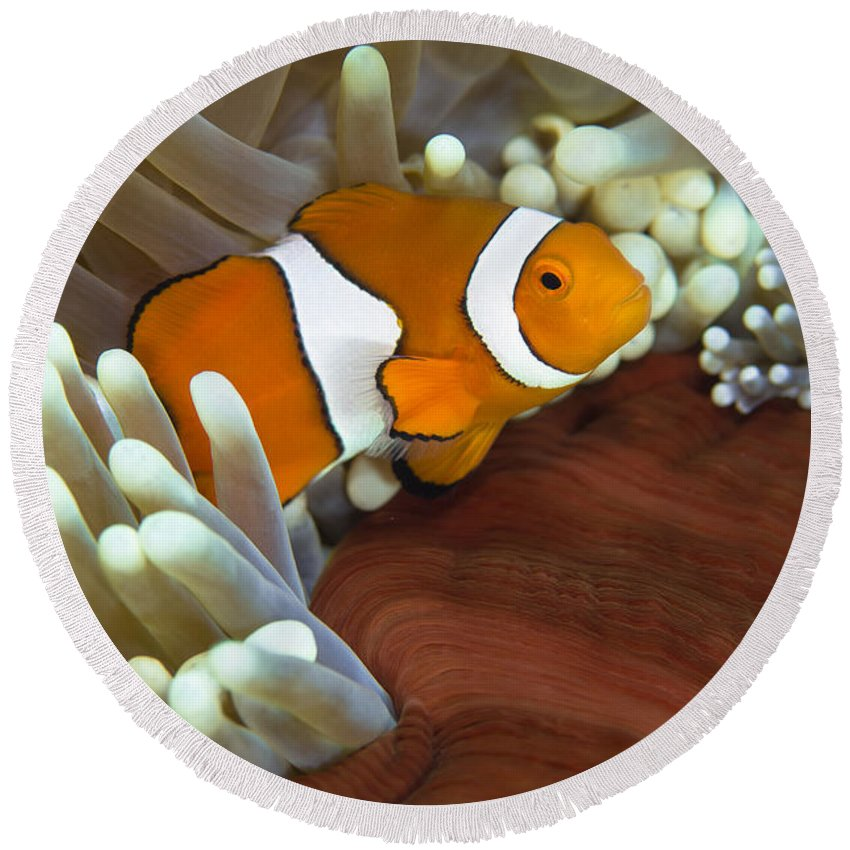 Osteichthyes Round Beach Towel featuring the photograph Clown Anemonefish In Anemone, Great by Todd Winner