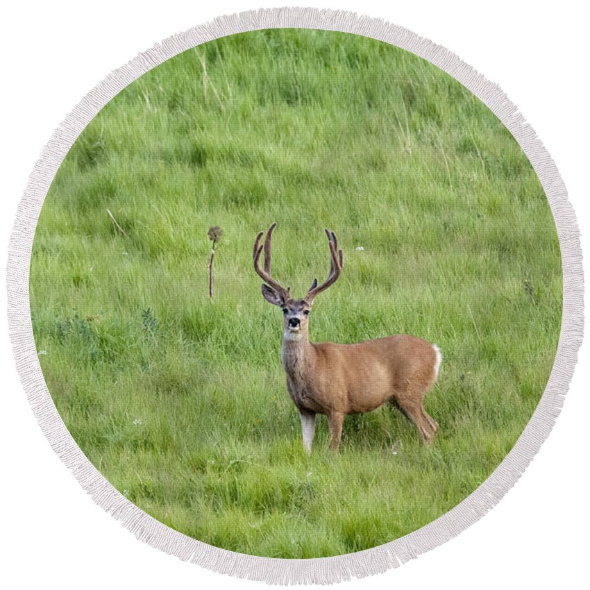 Deer Round Beach Towel featuring the photograph Colorado Deer by David Arment