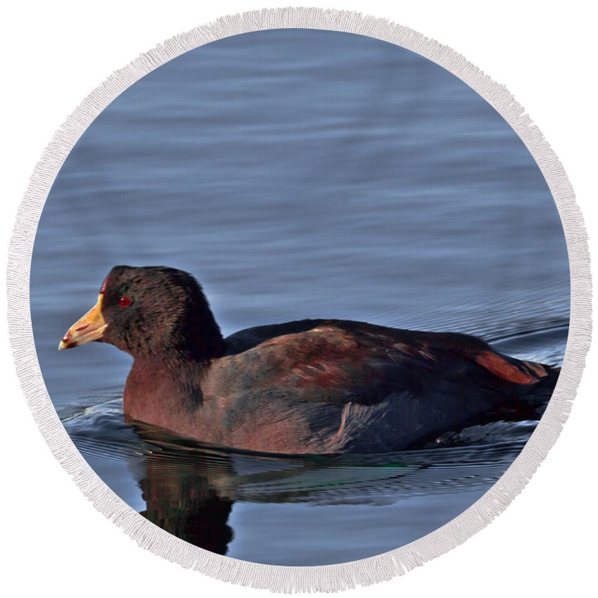 American Round Beach Towel featuring the photograph Colorful American Coot by Scott Hervieux