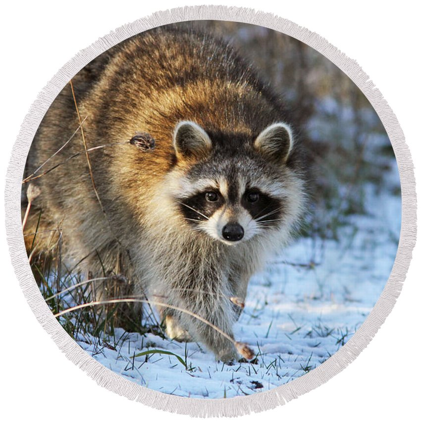 Banditos Round Beach Towel featuring the photograph Common Raccoon by Mircea Costina Photography